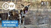 Đi Hoang Tập 17 : Zimbabwe - Wild Dogs